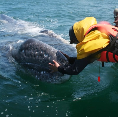Baja Gray Whales Whale Watching Tours Scamoons Lagoon